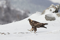 Golden Eagle, Aquila chrysaetos, adult male walking in snow, Bulgaria