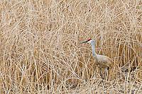 Sandhill crane (Grus canadensis) in marsh reeds.  Western U.S., spring.