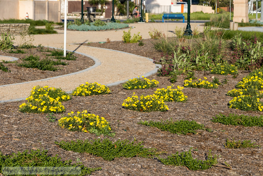 The native plant area of State Street Park, featuring yellow flowering plants with mulch next to decomposed granite pathways.
