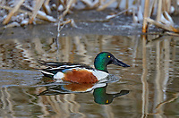 Northern Shoveler (Anas clypeata) in wetland pond after snow fall.  Oregon-California border.  Late winter/early spring.