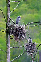 Adult Great Blue Herons (Ardea herodias) at nests. Tompkins County, New York. May.