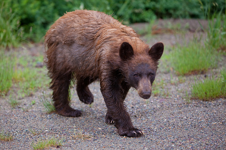 Black Bear Cub walking into a road side turnoff