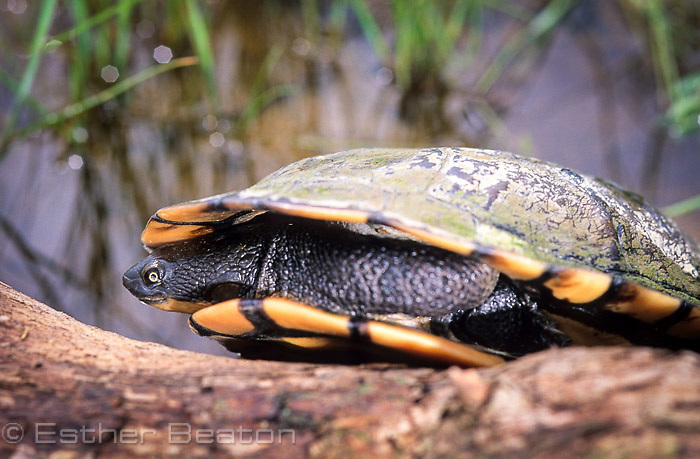 Long-necked Turtle (Chelodina longicollis) with neck tucked into shell, sitting on log in pond near woodlands. Gundagai area, NSW