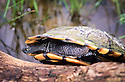Long-necked Turtle (Chelodina longicollis) with neck tucked into shell, sitting on log in pond near woodlands. Gundagai area, NSW