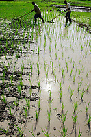 BURKINA FASO, Dano, Fondation Dreyer, SRI system of rice intensification, rice farming, worker weeding manual with toolReisanbau in Talauen, Reisfeld, Unkraut jaeten zwischen den Reihen mit Geraet, Anbau nach SRI Methode