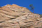 Lone pine tree growing out of folded sandstone rock along the Zion - Mt. Carmel Highway, Zion National Park, Uath