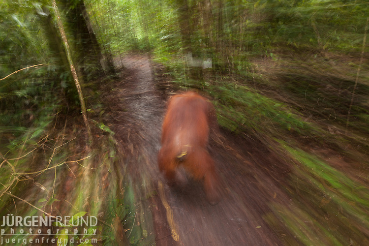 Bornean Orangutan (Pongo pygmaeus wurmbii) - adult female in moving blur