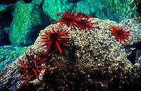 These colorful Redpencil Urchins( Heterocentrotus mammiliatus) were found living in a tidal pool. Hawaiian name is Ha uke uke ula ula.