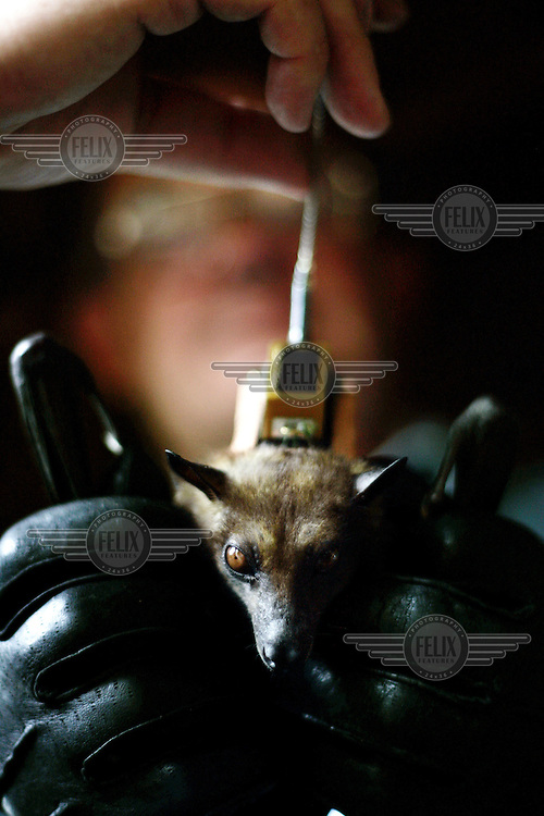 Researchers fit a tracking device to a bat in order to follow its migration. Millions of straw-coloured fruit bats arrive every October in Kasanka National Park, where they feed on the fruit of the mushitu swamp forest before moving on in December.