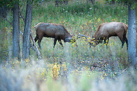 Bull elk lock horns in the cottonwoods along the Missouri River.