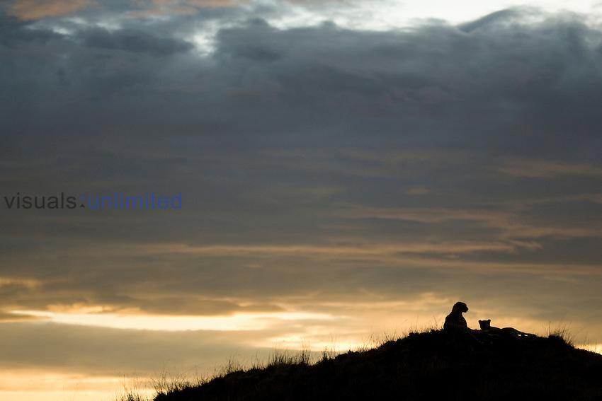 Cheetahs (Acinonyx jubatus) resting on a hill at dusk.