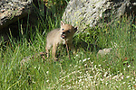 Coyote pup playing with a stick in Yellowstone National Park.