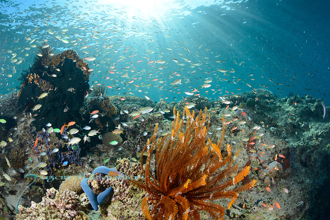 Sunlit Reef , Larantuka, eastern end of Flores Island, East Nusa Tenggara, Indonesia. ,