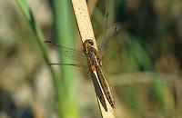 Feuerlibelle, Weibchen, Feuer-Libelle, Crocothemis erythraea, Croccothemis erythraea, Broad Scarlet, Common Scarlet-darter, Scarlet Darter, Scarlet Dragonfly