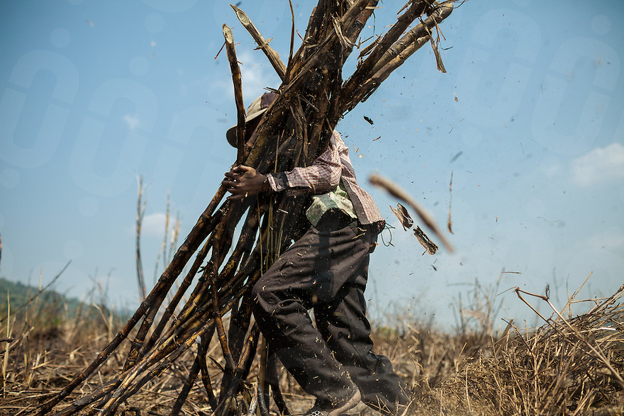 B. S. (11) carries a bunch of sugar cane. To help his family (evicted from their land in 2006 to make way for the sugar plantation), S. works normally 2 days a week trying to not loose too many days of school.  Sugar plantation of Srei Ambel, Koh Kong - Cambodia. 16 Jan. 2013 © Thomas Cristofoletti / Ruom