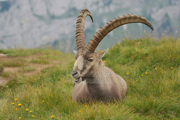 Alpine Ibex (Capra ibex), buck sitting, Niederhorn, Interlaken, Switzerland
