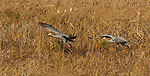 Sandhill cranes taking flight in Crex Meadows (northwestern Wisconsin).