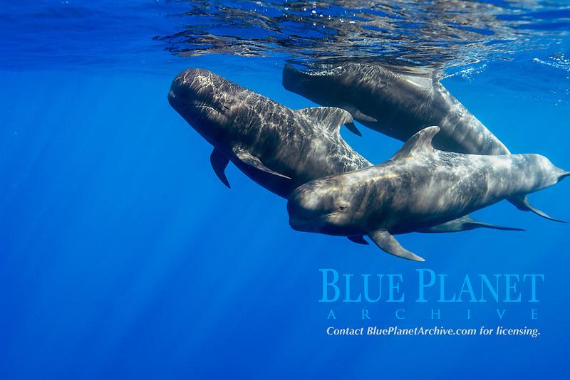 short-finned pilot whale, Globicephala macrorhynchus, Canary Islands, Spain, Atlantic Ocean