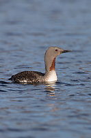 Sterntaucher, Stern-Taucher, Prachtkleid, Gavia stellata, red-throated diver, red-throated loon, Le Plongeon catmarin, le Plongeon à gorge rouge, le Plongeon à gorge rousse, le Québec Huart à gorge rousse
