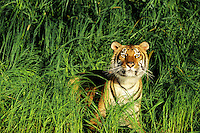 Bengal Tiger in grass along edge of pond.