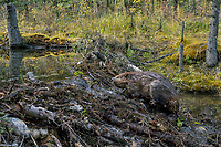 North American Beaver (Castor canadensis) crossing over dam it has made.  British Columbia, Canada.  Fall.