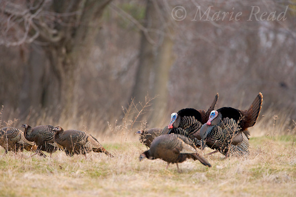 Wild Turkeys (Meleagris gallopavo), two males displaying to females, Ithaca New York, USA