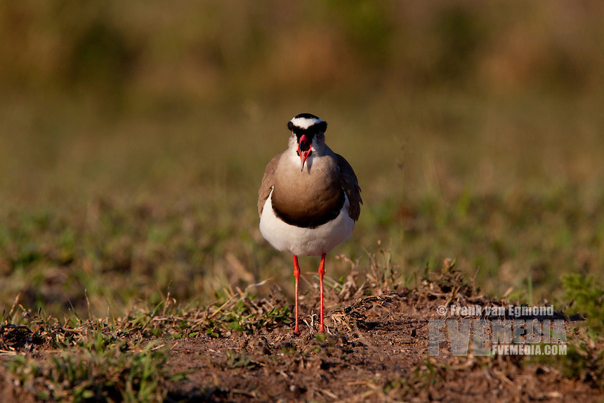 Crowned Lapwing (Vanellus Coronatus)..Talking, beak open..Winter, May 2009..Hluhluwe-Imfolozi Game Reserve, Kwazulu Natal, South Africa.