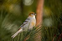 Female pine grosbeak perched in a northern white pine tree.