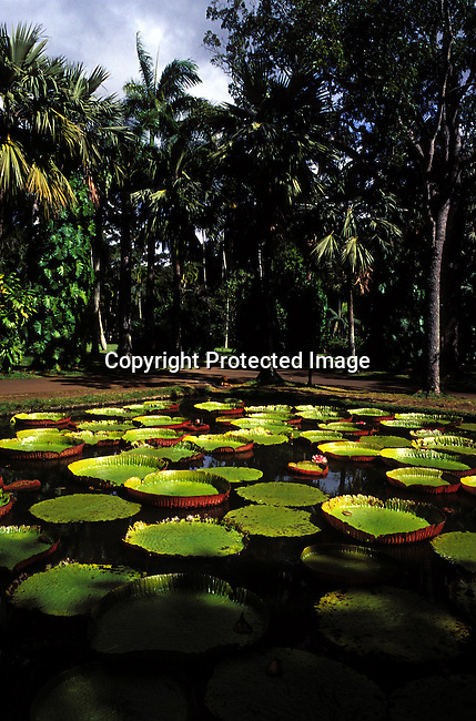 dicomau00003.Digital. Foreign Country. Mauritius. Flowers at the Botanical Garden on July 2, 2003 on Mauritius, a popular place for locals to have picnics etc. Environment, nature, trees. .©Per-Anders Pettersson/ iAfrika Photos