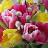 Gisela, FLOWERS, BLUMEN, FLORES, photos+++++,DTGK2083,#f# tulips