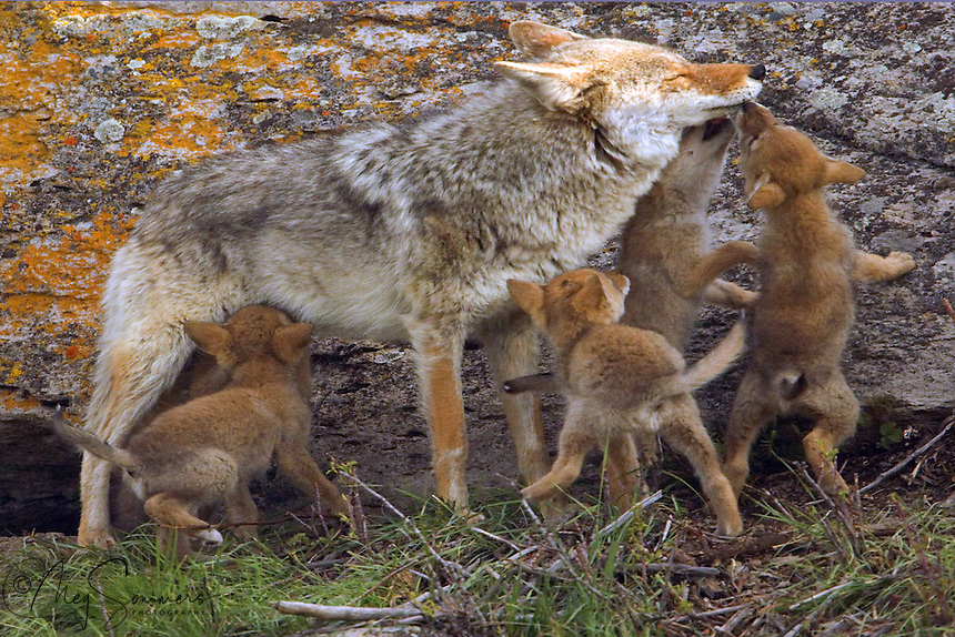 These five coyote (Canis latrans) pups have been left on their own, while their parents are off hunting. When their dad returned they were expecting him to regurgitate dinner for them. Some are even hoping they can nurse. Not much chance of that! Self guided nature trail, Yellowstone.