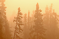 Trees in boreal forest in morning fog<br />