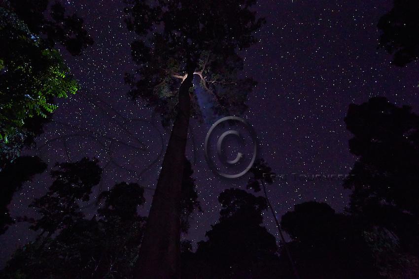 The Datu Nahar lalau beneath a starry night with its foliage lit up by the climbers flashlights.///Le lalao Datu Nahar sous une nuit étoilée avec sa frondaison éclairée par les torches des grimpeurs.
