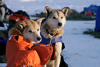 """Tuesday March 6, 2007   Rainy Pass checkpoint----  Perry Solomon's dogs """"Sounder"""" and """"Ranger"""" watch as he cooks food  at the Rainy Pass checkpoint on Puntilla Lake at 20 below zero with 15-20 mph winds on Tuesday morning"""