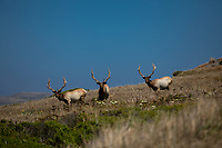 Three male Tule Elk stand atop a hill along the Tomales Point Trail in Point Reyes National Seashore. Hunted to extinction in the area by 1860, scientists reintroduced a small number in 1978 and created the Tule Elk Reserve. This population is now one of the largest in California.