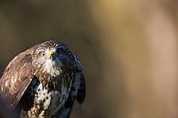 Mäusebussard, Mäuse-Bussard, Bussard, Buteo buteo, common buzzard