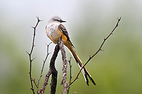 Scissor-tailed Flycatcher perched in mesquite tree