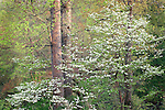 soft afternoon light on blooming dogwood trees in spring Tennessee forest