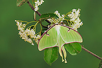 Luna Moth (Actias luna), adult on blackhaw (Viburnum prunifolium), New Braunfels, Texas, USA