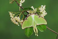 Luna Moth (Actias luna), adult on blackhaw (Viburnum prunifolium), New Braunfels, Texas, USA