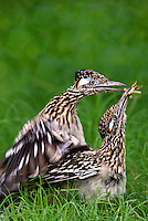 576010050v a wild pair of  greater roadrunners geococcyx califonianus in mating position with the male holding a grasshopper as a food offering on laguna seca ranch in hidalgo county texas united states