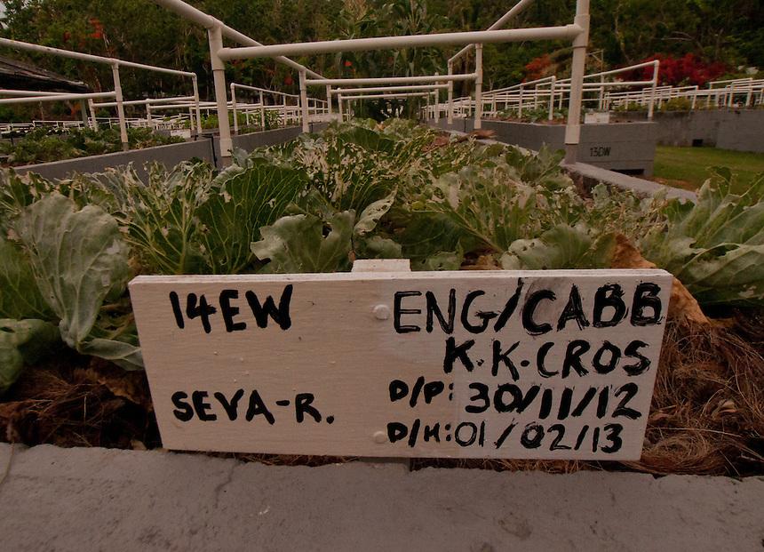 Cabbage Growing in Organic Garden, Turtle Island, Yasawa Islands, Fiji