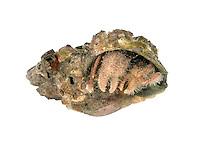 Eupagurus cuanensis