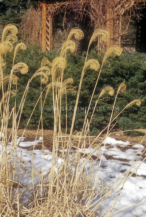 Miscanthus sinensis 'Variegatus' ornamental grass in winter snow seed heads