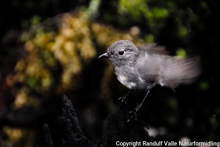 South island Robin, Mount Richmond Forest park, New Zealand.