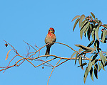 Thoughtful House Finch, American rosefinch, Sepulveda Wildlife Refuge, Southern California