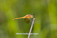 06664-00101 Band-winged Meadowhawk dragonfly (Sympetrum semicinctum) female, DuPage Co.  IL