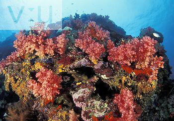 Reef scene with Alcyonarian Corals Dendronephthya,, Fiji.