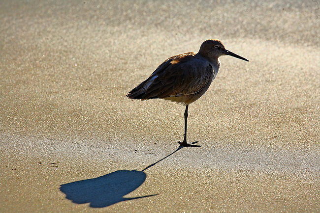 A one-legged Sandpiper stands on a beach along the pacific ocean in California