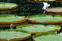 MUS, Mauritius, Pamplemousses: Sir Seewoosagur Ramgoolam Botanischer Garten - Victoria regia, Wasserlilie mit wagenradgrossen Riesenblaettern | MUS, Mauritius, Pamplemousses: Sir Seewoosagur Ramgoolam Botanic Garden - Victoria regia, waterlilly
